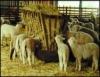Criação de ovinos, características e vantagens