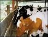 O segredo do sucesso de um pequeno produtor de leite