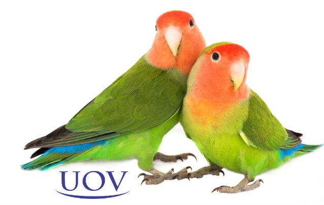 Você conhece os Periquitos-namorados?   Artigos Cursos UOV