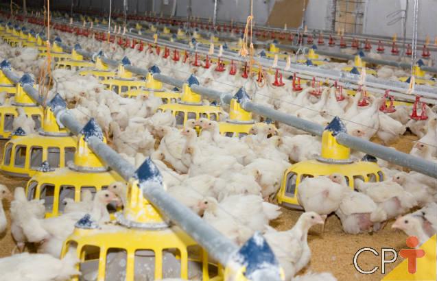 Saiba mais sobre as fases do manejo de frangos de corte