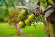Dicas para realizar a polinização artificial controlada do coqueiro anão