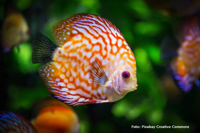 Pop-eye em peixes: causas, prevenção e tratamento