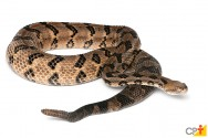 O veneno de cobras na produção de medicamentos