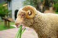 Alimentação de ovinos: qual gramínea  e leguminosa fornecer?
