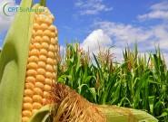 Para enfrentar nova doença do milho, a genética pode ser a alternativa