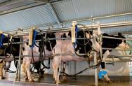 Mais lucro na pecuária de leite? Cuide do manejo da ordenha!