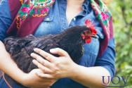Boas galinhas poedeiras de ovos: como escolher