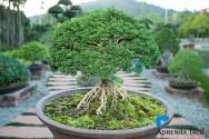 Pragas e doenças no bonsai: aprenda a controlá-las