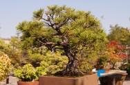 Como realizar a adubação de um bonsai?