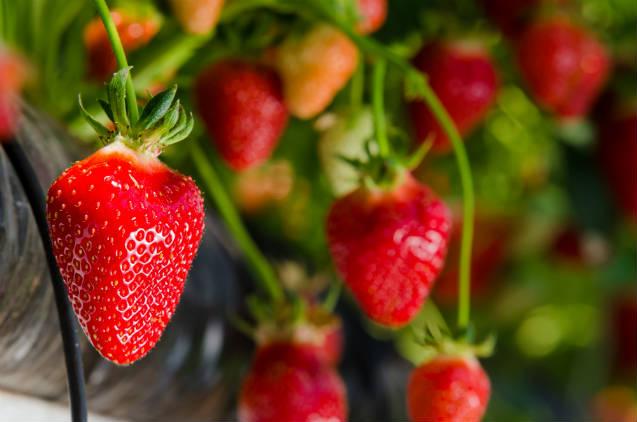 Desenvolvida estufa de morangos com baixo custo