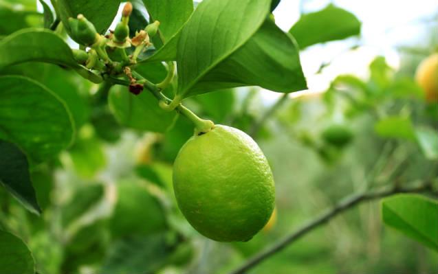Dicas para plantar limão em vaso