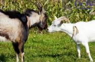 Cabras leiteiras: início da atividade reprodutiva