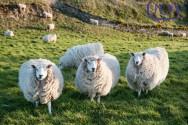 Especialista: ovinos lanados e deslanados apresentam diferenças na forma de pastejo