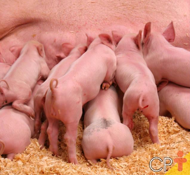 Manejo alimentar de suínos: matrizes em lactação