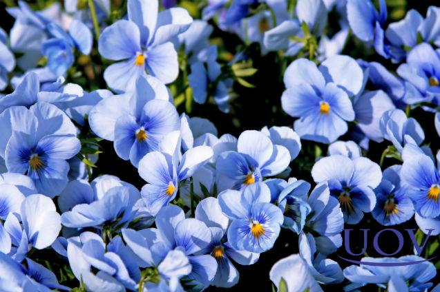Vai comprar mudas de violetas? Verifique as condições dos substratos!   Artigos Cursos UOV
