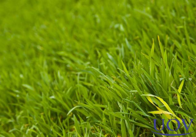 Especialista: colheita do milho hidropônico tem época certa   Notícias Cursos UOV