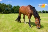Estratégias para a alimentação de equinos