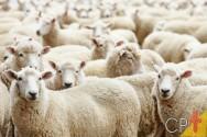 Razões para fazer tosquia em ovelhas