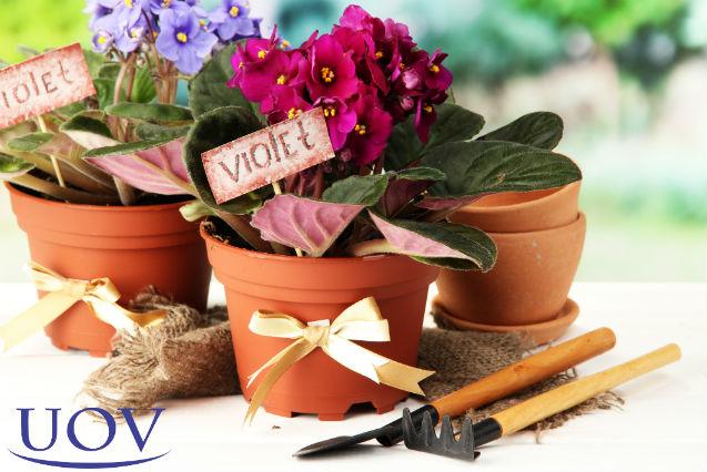 Por que minhas violetas não florescem?   Artigos Cursos UOV