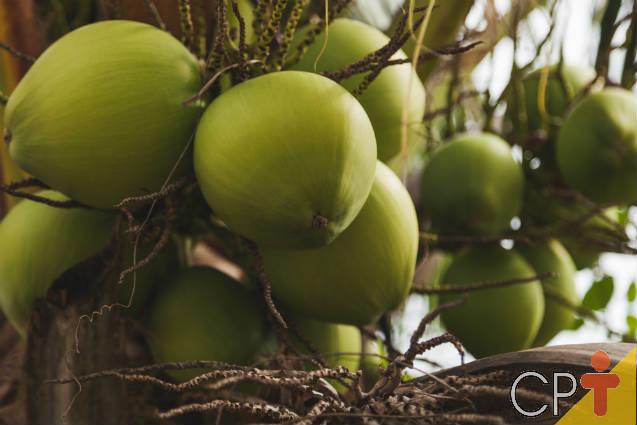 Causas dos danos nas folhas do coqueiro anão