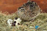 Novidade na AFE: Livro Criação de Codornas para Produção de Ovos e Carne atualizado!