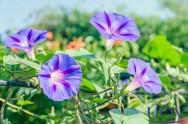 Florais Franceses: indicações de uso do Ipomée