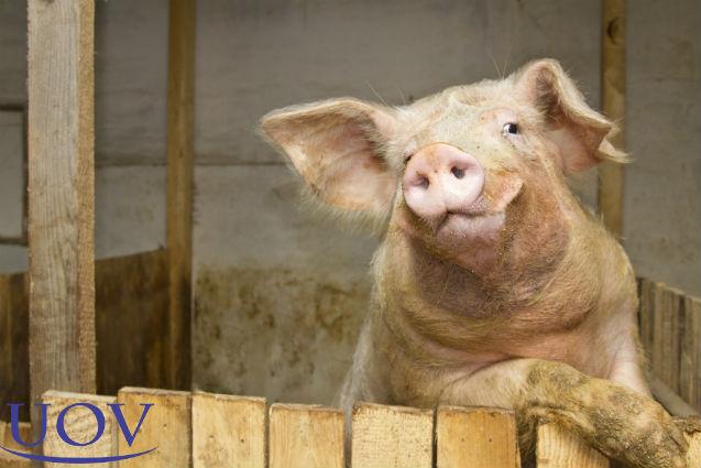 Como detectar porcas no cio? Leia a aprenda!   Artigos Cursos UOV