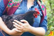 Dicas sobre a criação de galinhas caipiras