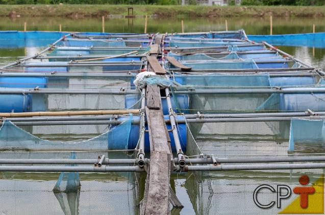 Cria surubins? Aprenda a soltar os alevinos no tanque!   Artigos Cursos CPT
