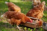 Por que fornecer frutas às galinhas?