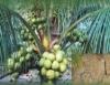 Irrigação do coqueiro anão