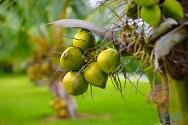 Dica especial UOV: evite a queda prematura de frutos do coqueiro anão