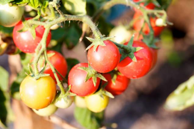 Nova cultivar de tomate-cereja produz três vezes mais