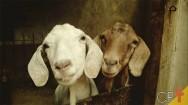 Produção de ovinos em diferentes sistemas