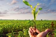 Milho hidropônico: segundo alimento animal mais rico em proteína