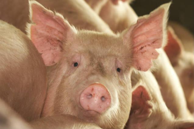 Saiba mais sobre peste suína africana