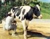 Ordenha é uma das atividades mais importantes da pecuária leiteira