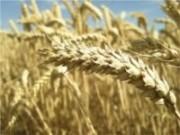 Leilão para escoamento de trigo acontece dia 20 de dezembro