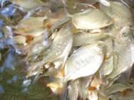 Os mais produzidos para a comercialização podem ser subdivididos em três categorias: peixes tropicais, de clima frio ou temperado e ornamentais.