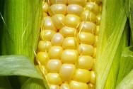 https://cptstatic.s3.amazonaws.com/imagens/enviadas/materias/materia2114/m-cultivo-milho.jpg