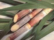 https://cptstatic.s3.amazonaws.com/imagens/enviadas/materias/materia2140/m-cultivo-de-cana.jpg