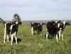 Criação de bezerras leiteiras visa o equilíbrio entre economicidade e idade precoce ao parto