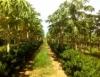 Fruticultura com cultivo consorciado anima agricultores