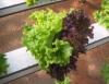 Hidroponia tem o segredo da produção na solução nutritiva