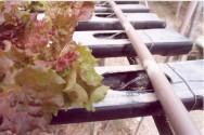 Na hidroponia as plantas se desenvolvem a partir da solução nutritiva.