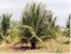 Adubação é primordial para boa produtividade do coqueiro anão