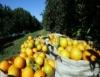 Produção de frutas, para lucro ou lazer, tem seu lugar na propriedade rural