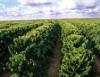 Cafezal utiliza tecnologia do plantio de eucalipto