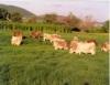 Proteínas, vitaminas, minerais, lipídios e glicídeos são essenciais para o gado
