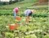 Adubação verde melhora as condições químicas, físicas e biológicas do solo